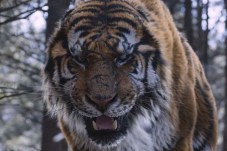 tiger_05